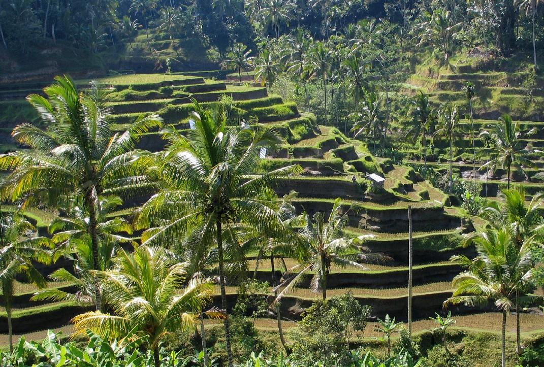 Plantaţii de orez din Insula Bali