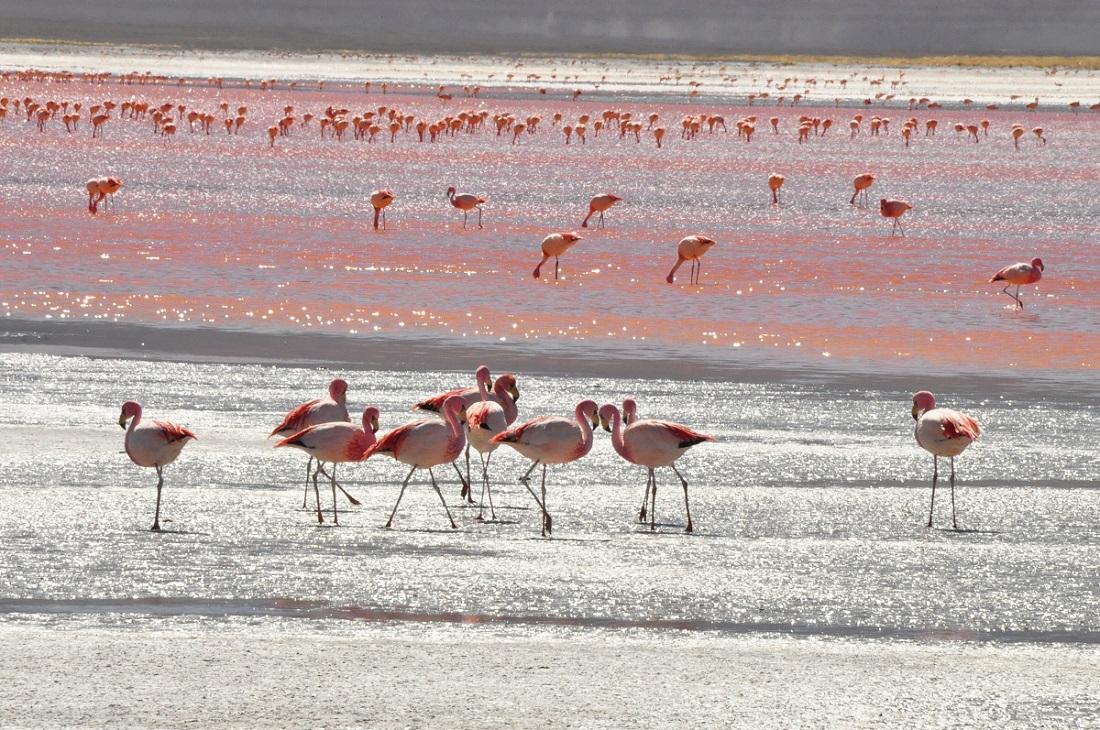 Laguna Roşie, Bolivia, celebrele păsări Flamingo
