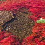 Râul Cano Cristale, deataliu care surprinde algele roşii