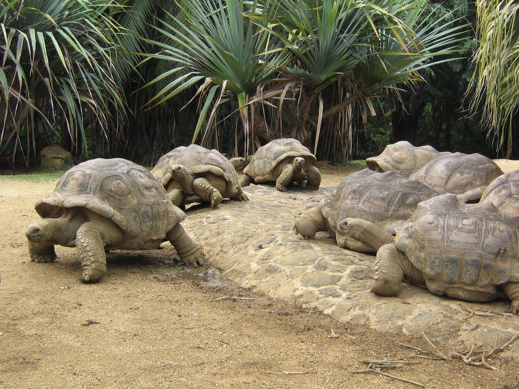 Broaşte ţestoase uriaşe în La Vanilla Reserve, Mauritius