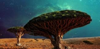 Arbori Sângele Dragonului, Insula Socotra Yemen
