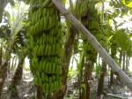 Culturi de banane, Insula Sfânta Lucia