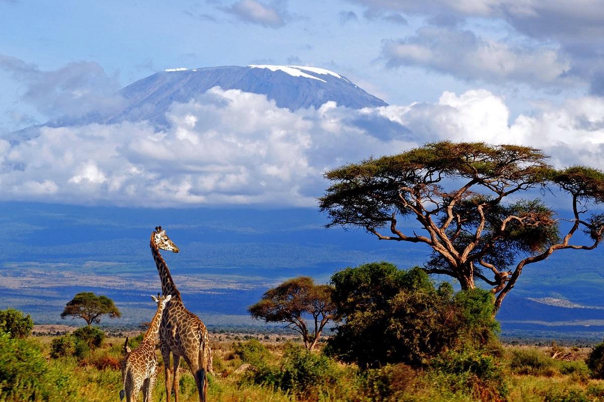 Girafe în împrejurimile Muntelui Kilimanjaro