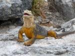 Iguanele din Insulele Galapagos sunt spectaculoase prin coloritul lor