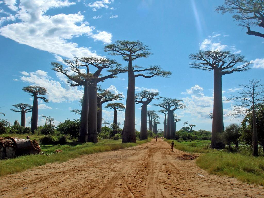 Insula Madagascar, baobabi uriaşi