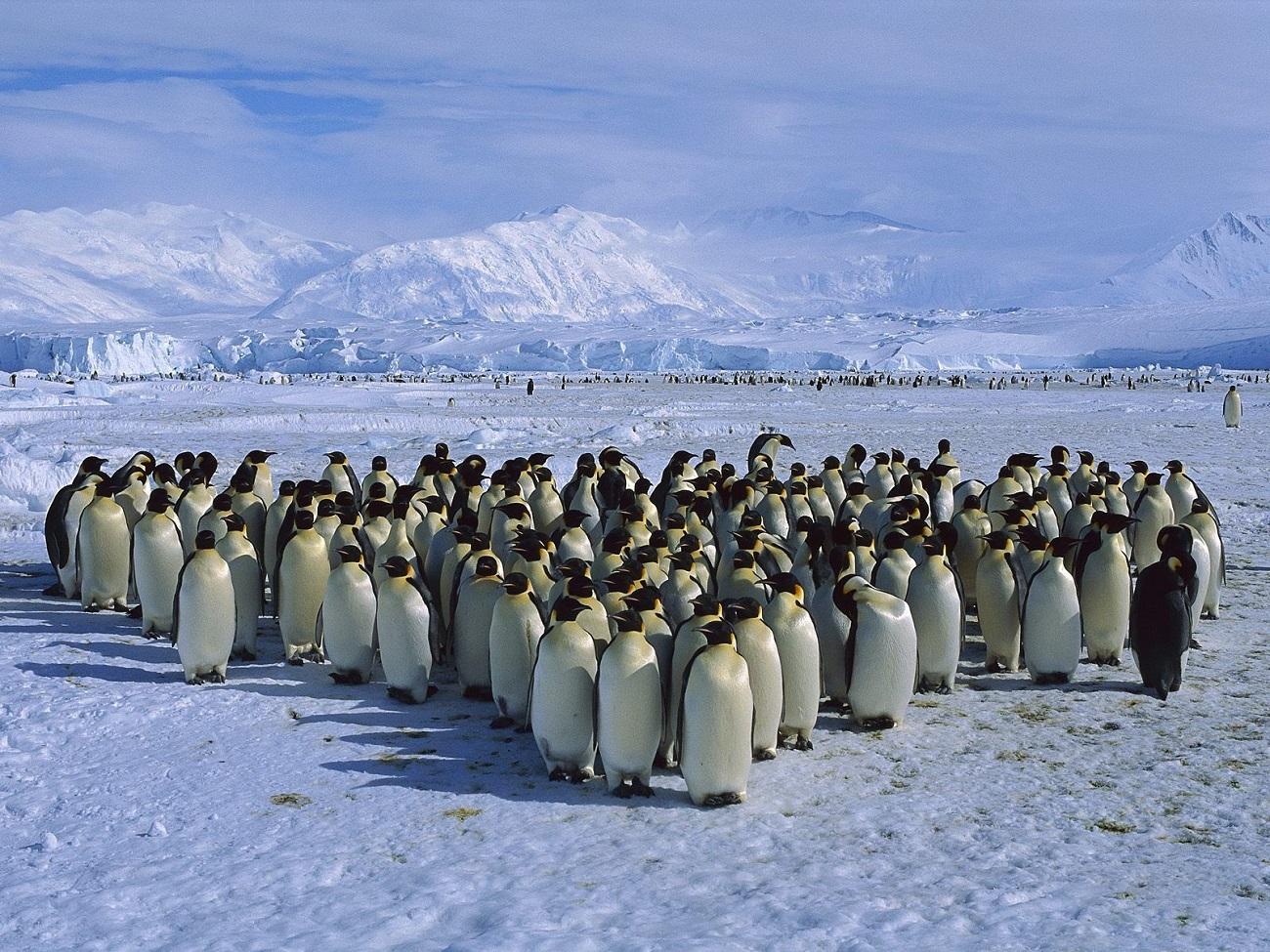 Insula Shetland şi o frumoasă familie de pinguini, Antarctica