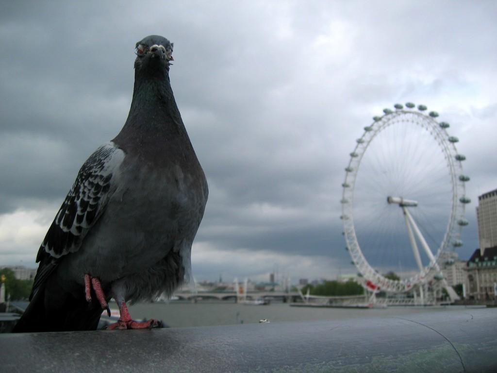 London Eye, porumbeii nu mai au suprematie asupra cerului Londrei
