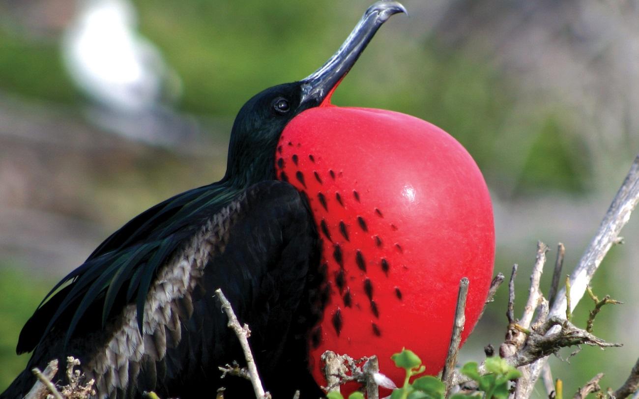 Păsările Frigate sunt o raritate în lume