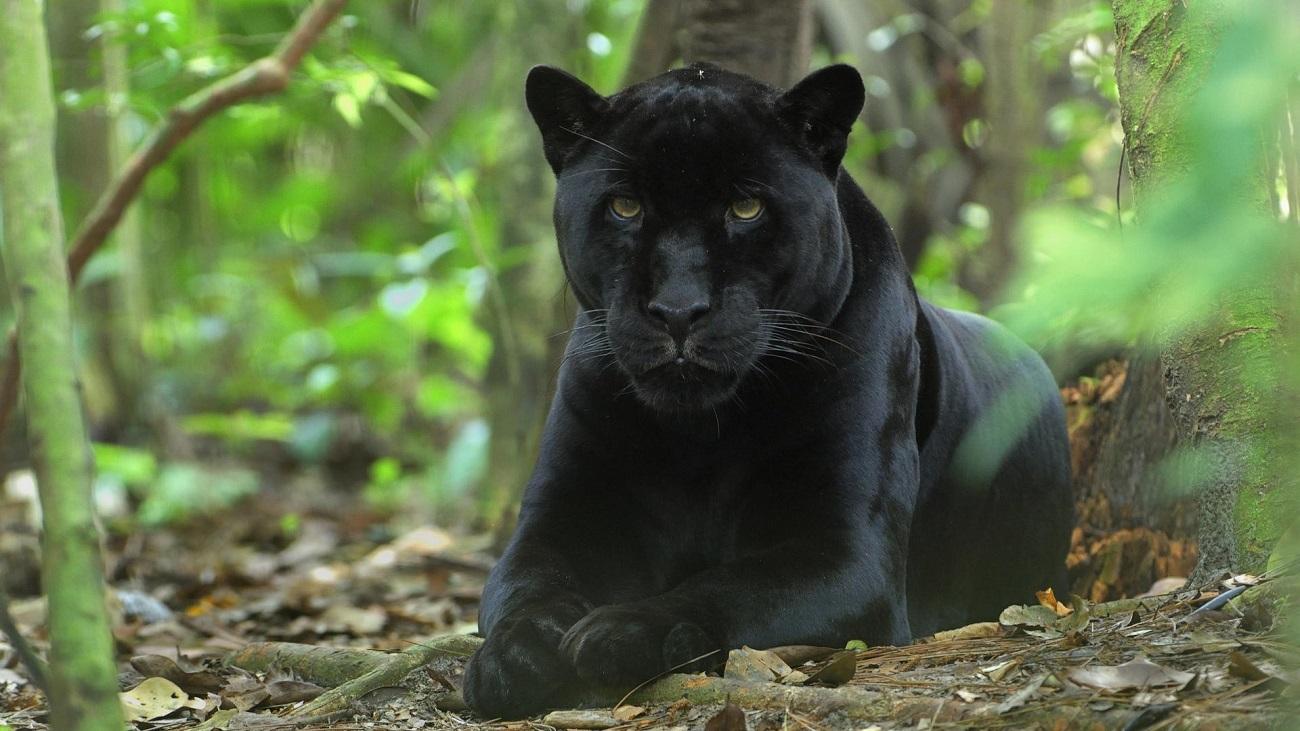 Panteră neagră, unul dintre cele mai rare animale ale lumii în Belize