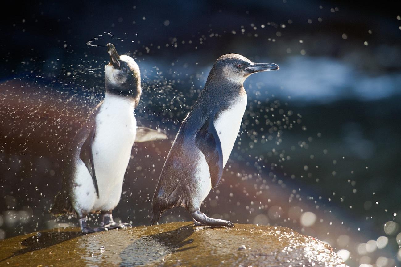 Pinguinii de Galapagos par să aibă o viaţă foarte liniştită