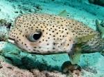 Rechinii leopard din adâncurile apelor sunt o raritate în lume