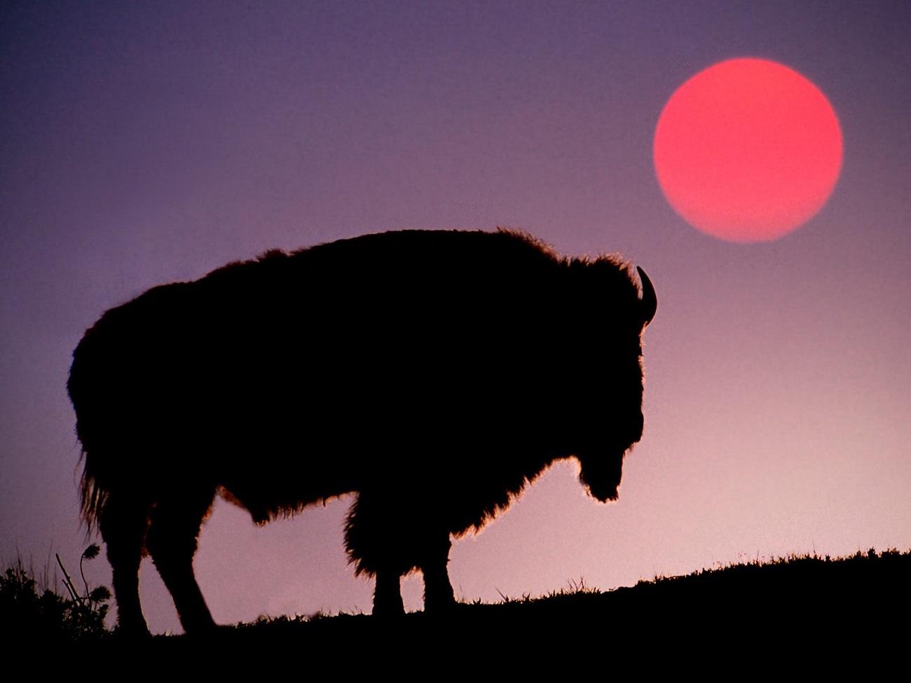 Silueta unui bizon la apusul soarelui, Parcul Naţional Yellowstone