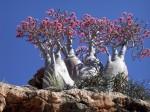 Specie de arbori care nu se mai regăseşte nicăieri în lume, Insula Socotra, Yemen