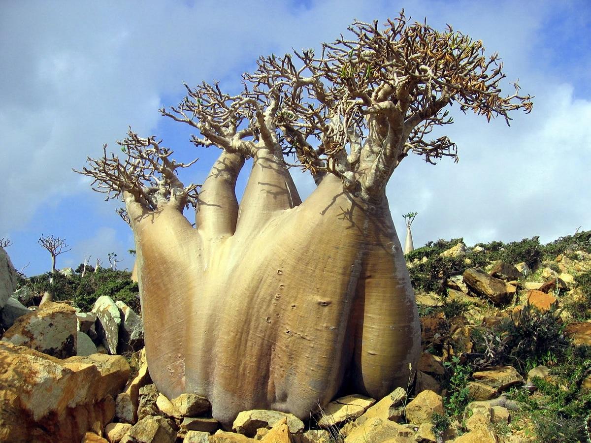 Specie de arbori unică în Insula Socotra, Yemen