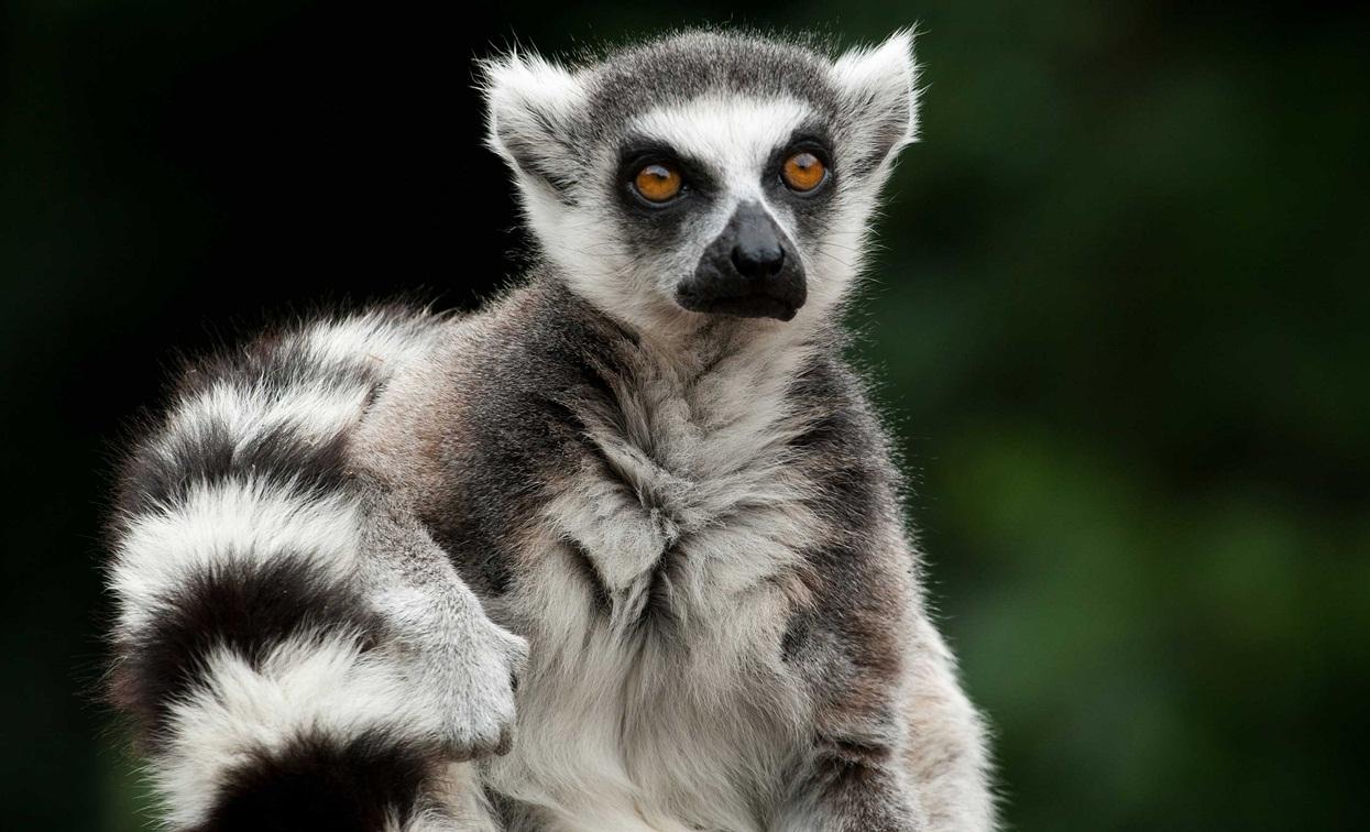 Specie de lemur aflată pe cale de dispariţie în Insula Madagascar