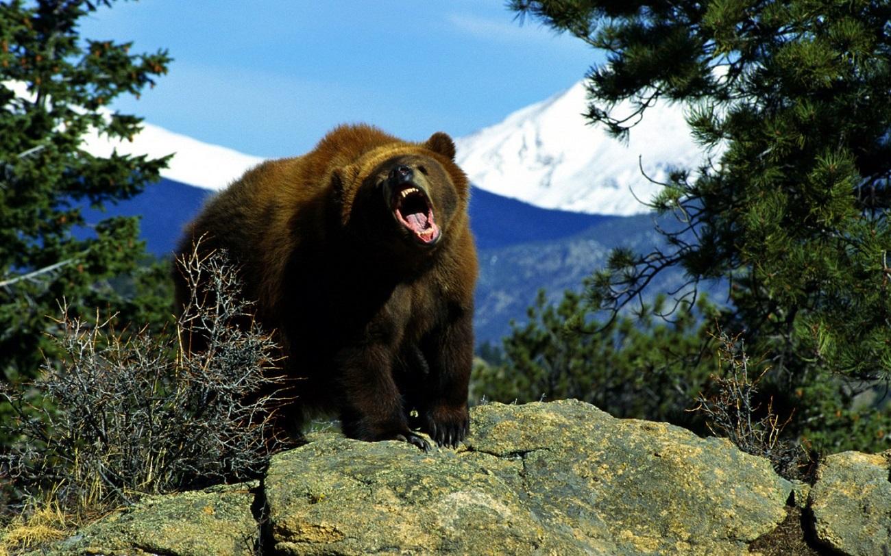 Urs brun în Parcul Naţional Yellowstone
