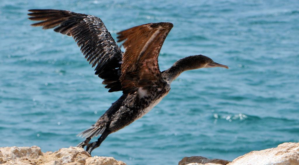Specie de cormoran aflat pe cale de dispariţie, Insula Socotra, Yemen
