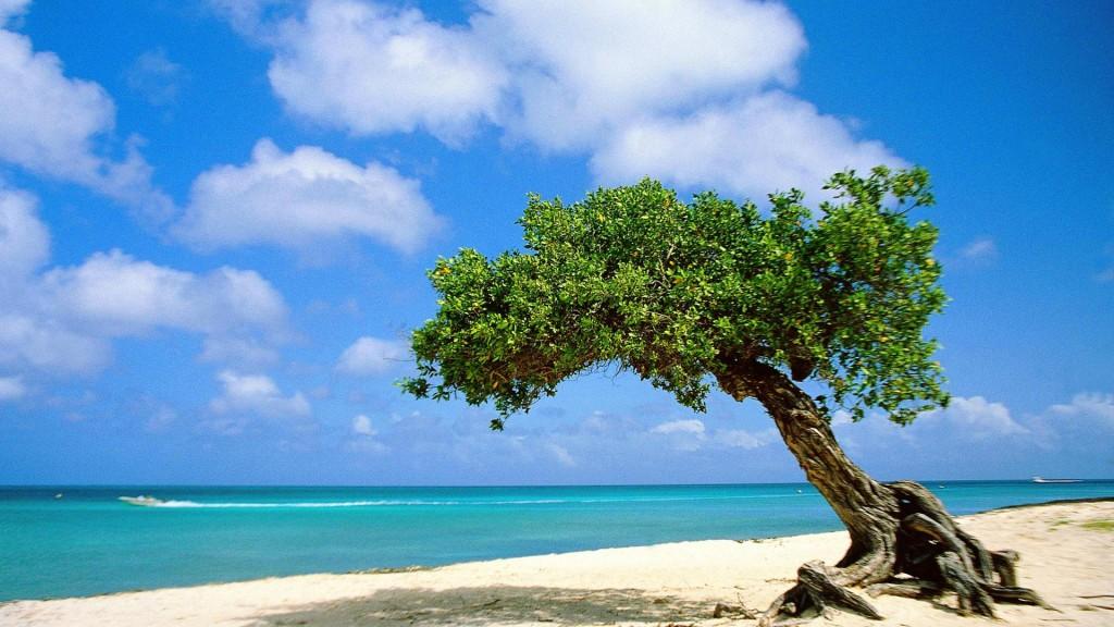 Copac de divi în insula Aruba