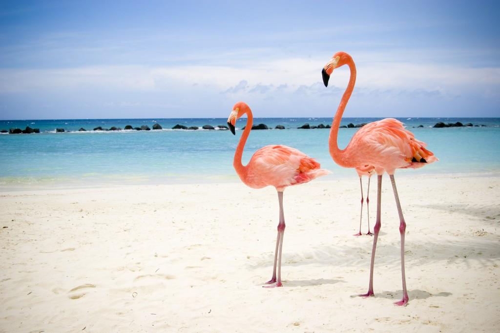 Flamingo în Aruba