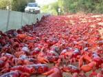 Migrația crabilor roșii pe Insula Crăciunului