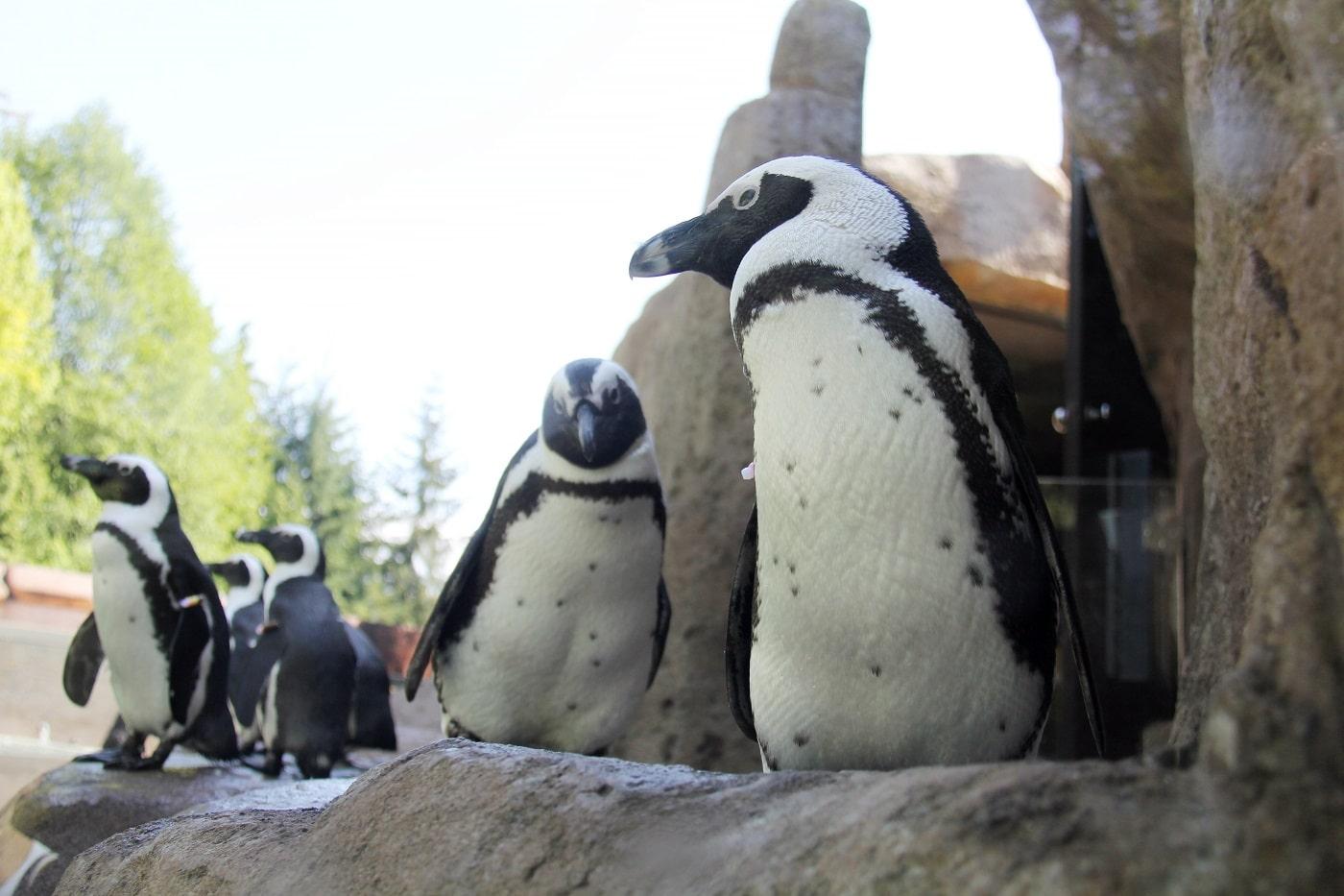 Pinguini la Acvariul din Stanley Park, Vancouver