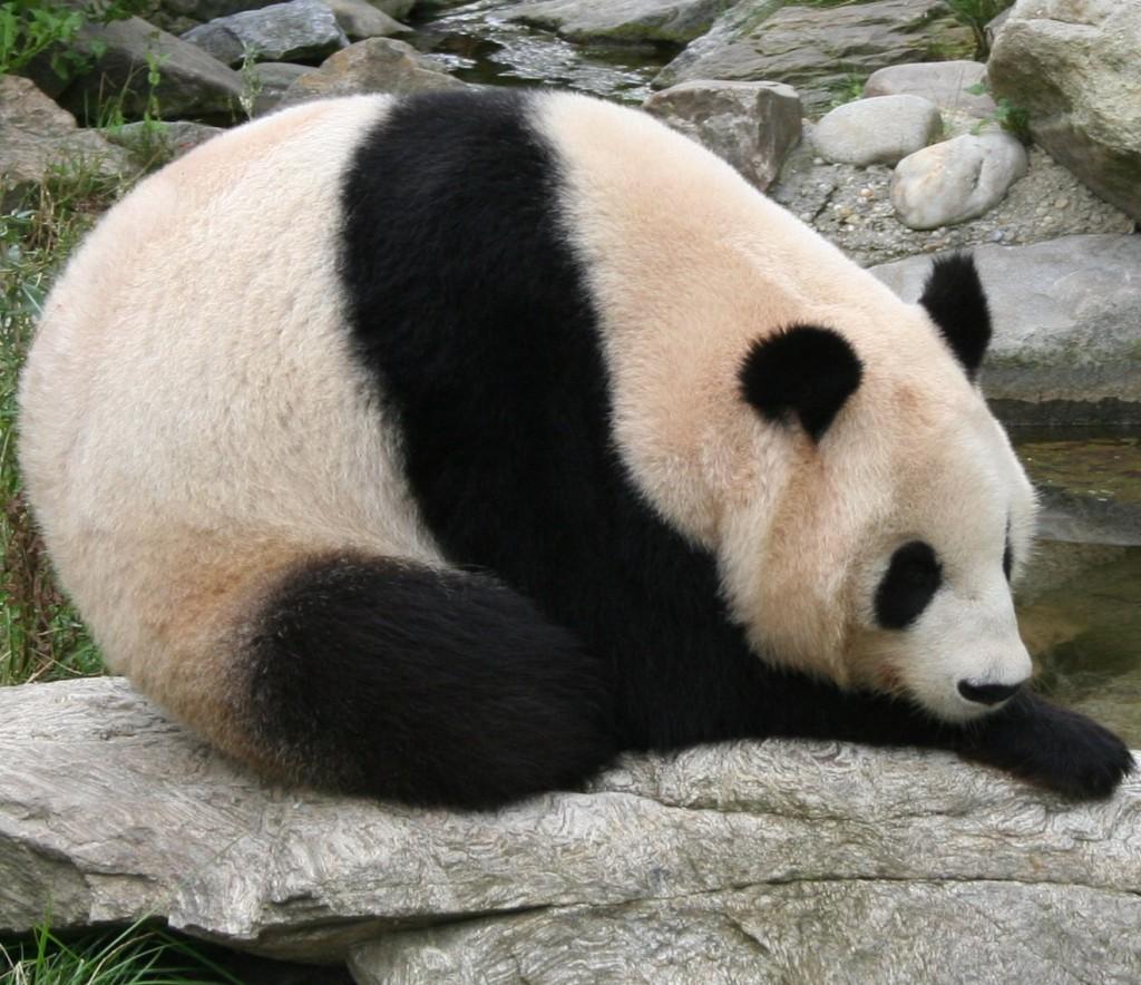 Un panda gigantic
