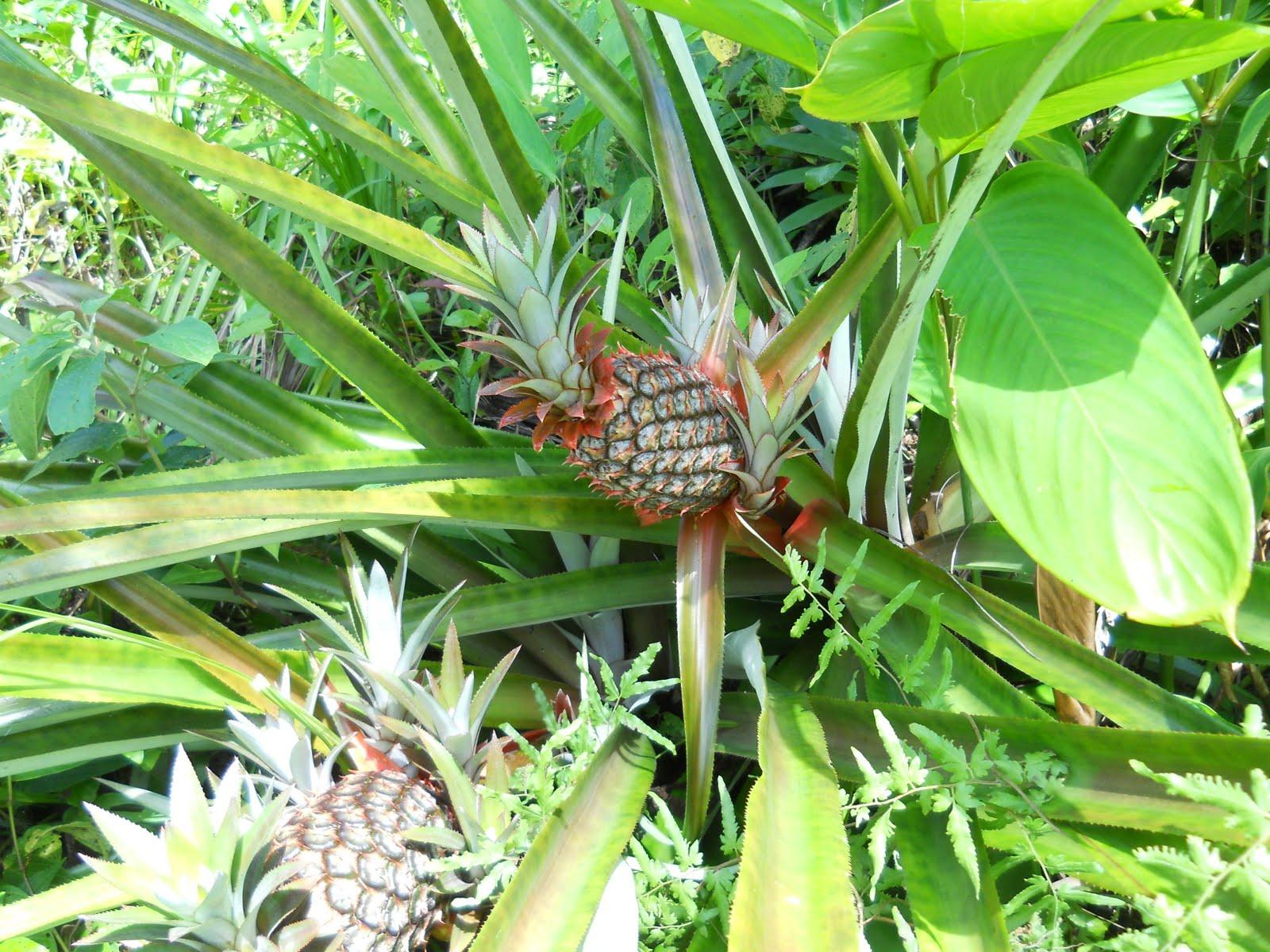 Fructe tropicale ce se găsesc în grădinile din Panama