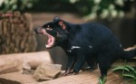 Diavolul tasmanian este un animal înfiorător