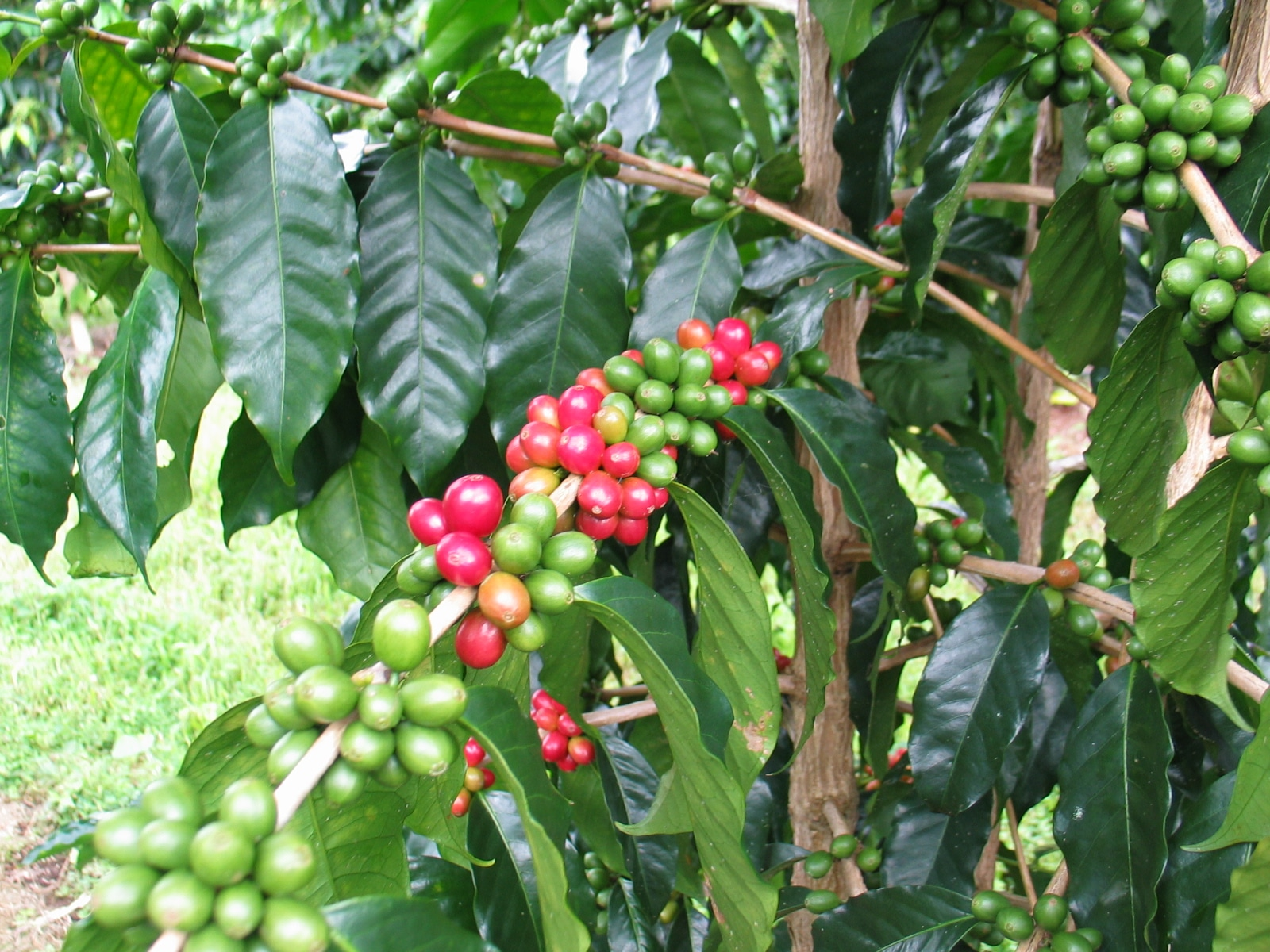 Plantație de cafea din Puerto Rico