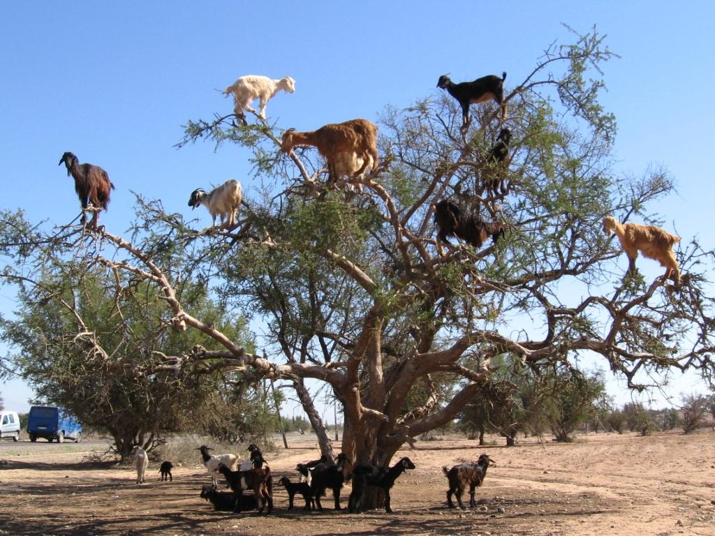Caprele căţărătoare din Maroc