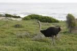 În parcul natural de la Capul Bunei Speranțe se pot întâlni chiar și struți