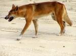 Câinii dingo par a fi niște animale inofensive, dar în realitate nu sunt