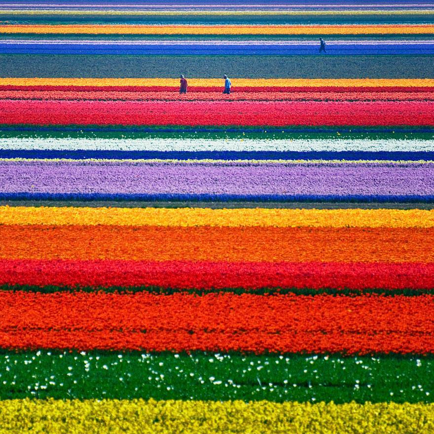 Câmpurile de lalele din Olanda, o explozie de culoare