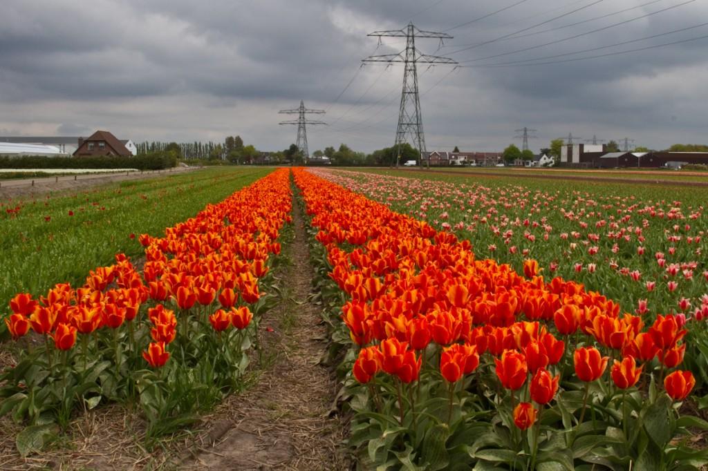 Cultivarea lalelelor reprezintă o mega industrie în Olanda