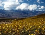 Death Valley este exemplul-clar că până și în deșert florile pot înflori