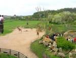 Girafe găzduite de Grădina Zoologică Praga