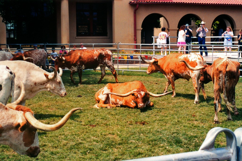 Longhorn Cattle, simbolul orașului Fort Worth