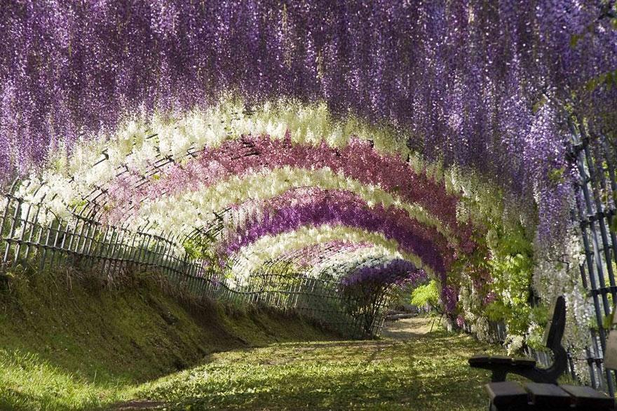 Tunelul de flori Wisteria