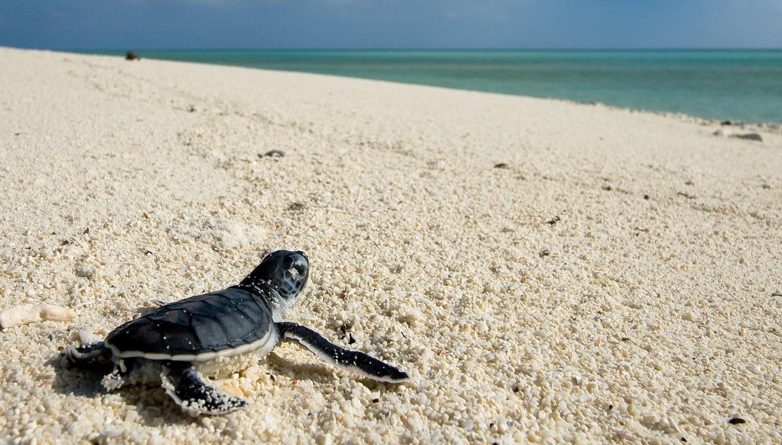 Țestoasă pe una din plajele albe din Akumal