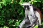 În Pădurea Jozani încă se regăsesc specii de maimuțe aflate pe cale de dispariție