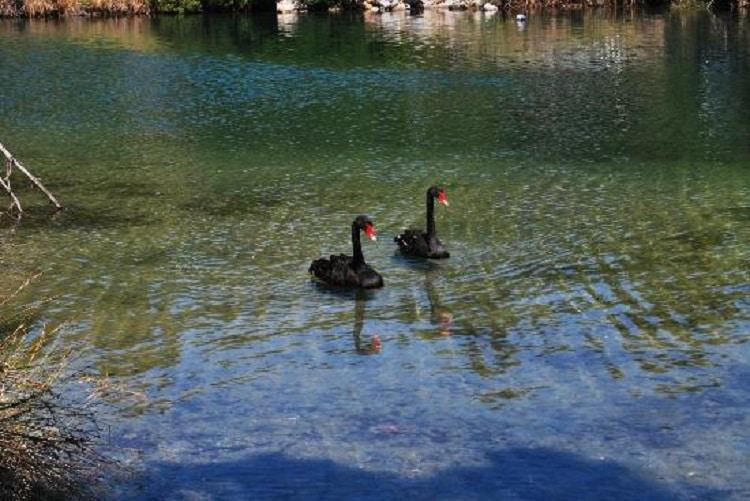 Lebede negre ce plutesc alene pe Lacul Strofili stațiunea Koukounaries