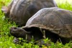 Broaştele ţestoase gigant, creaturile ce crează uimire în rândul turiştilor