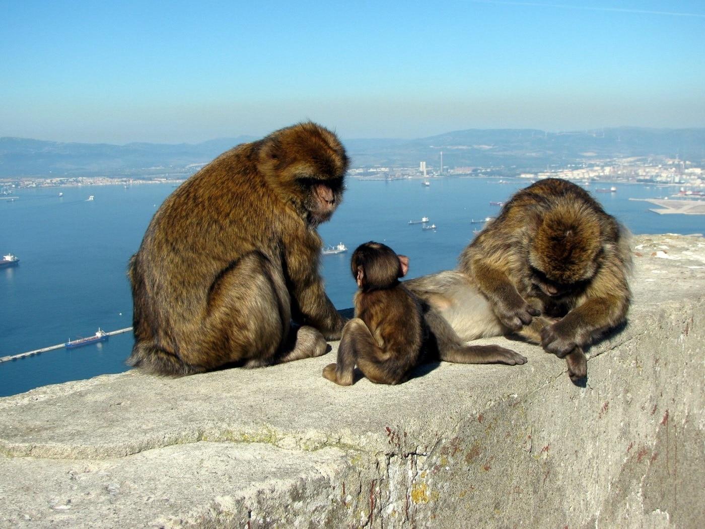 Maimuțele din Gibraltar sunt cele care însuflețesc zona