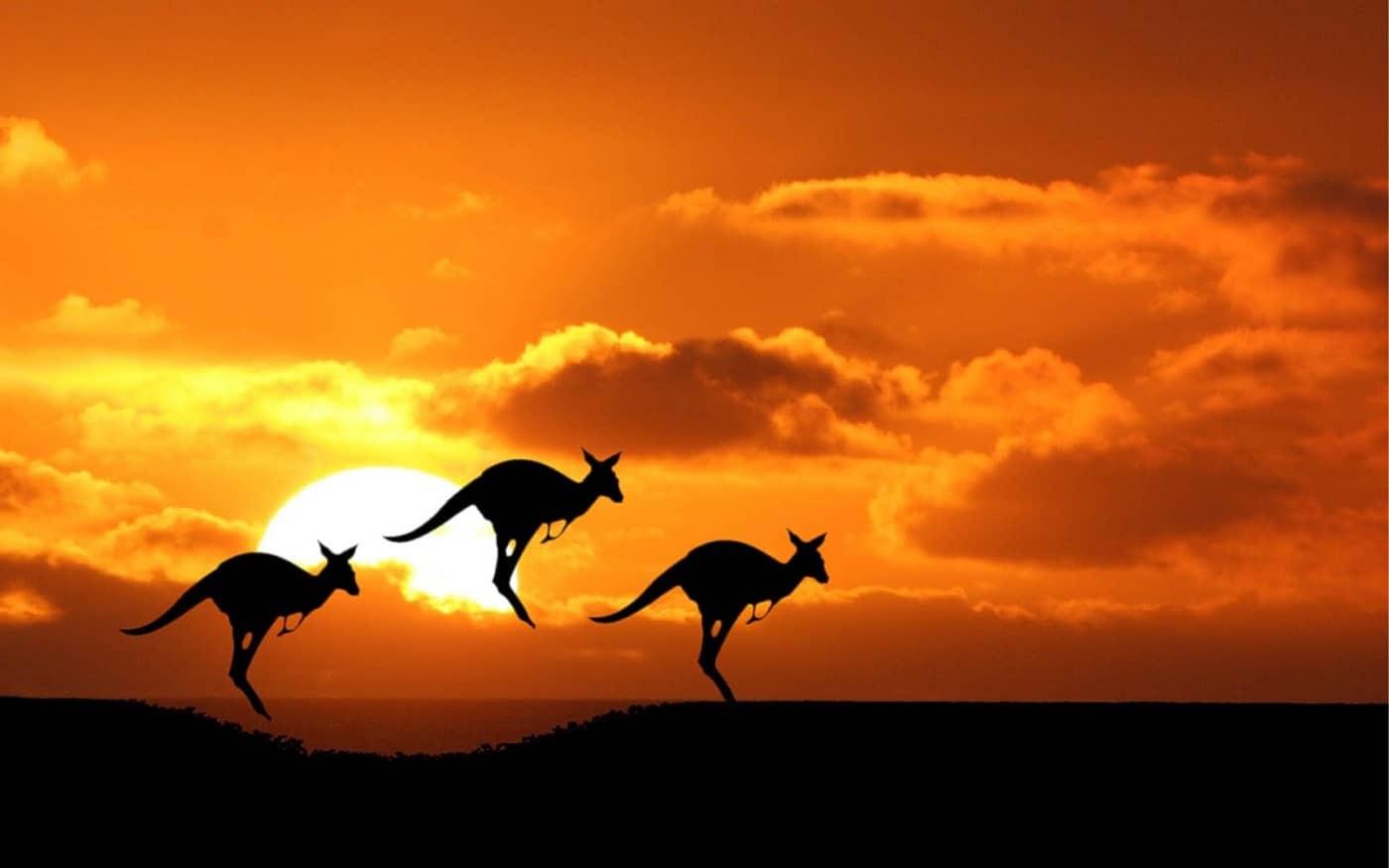 Celebrii canguri australieni se regăsesc şi în Canberra