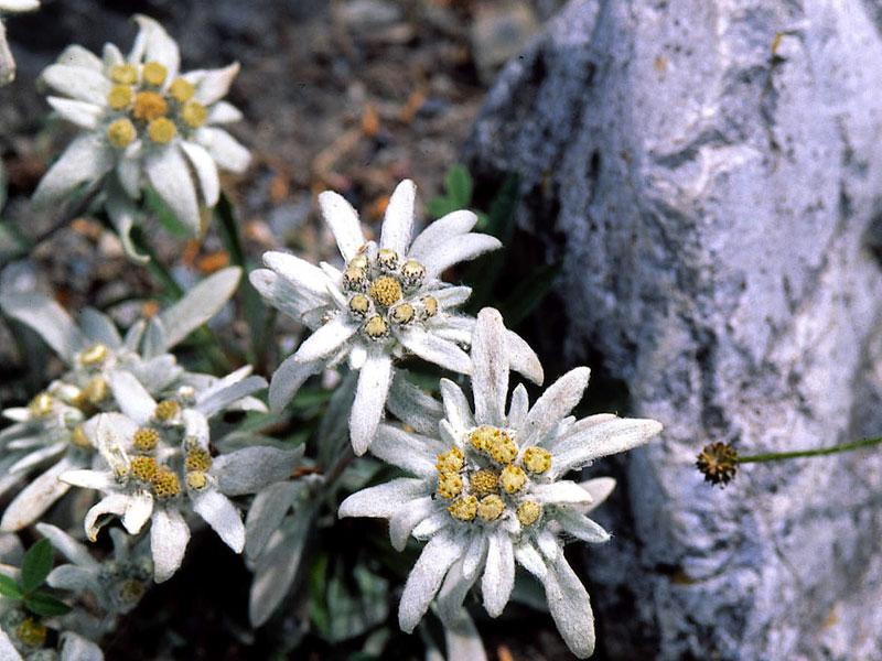 Florea de colţ
