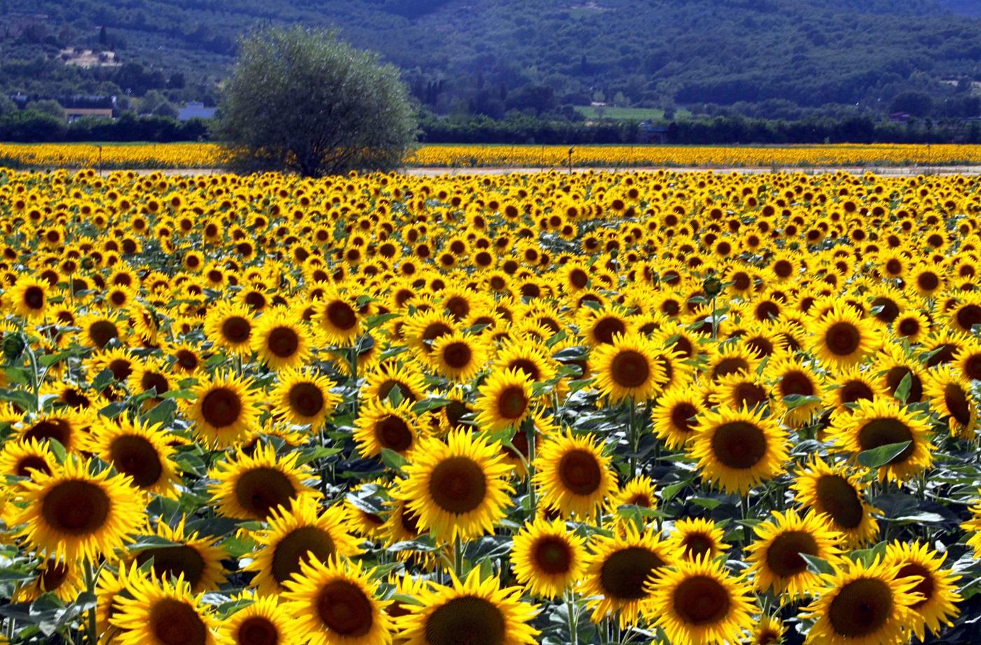 Culturile de floarea soarelui sunt specifice zonei
