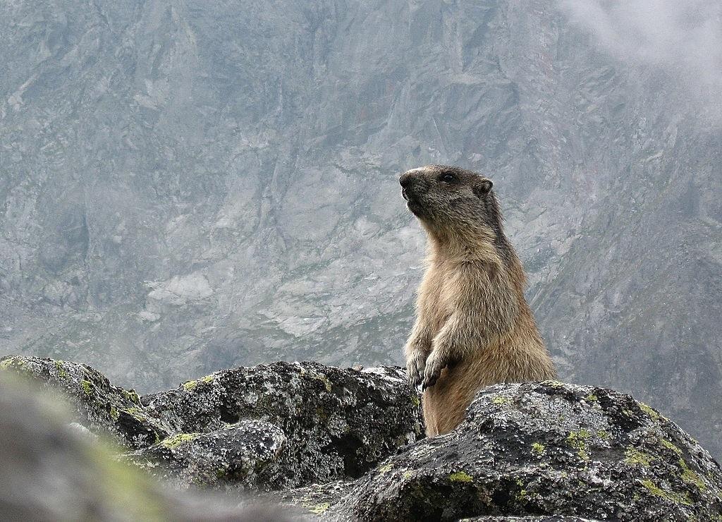 Jucăușele marmote întregesc peisajul cu prezența lor