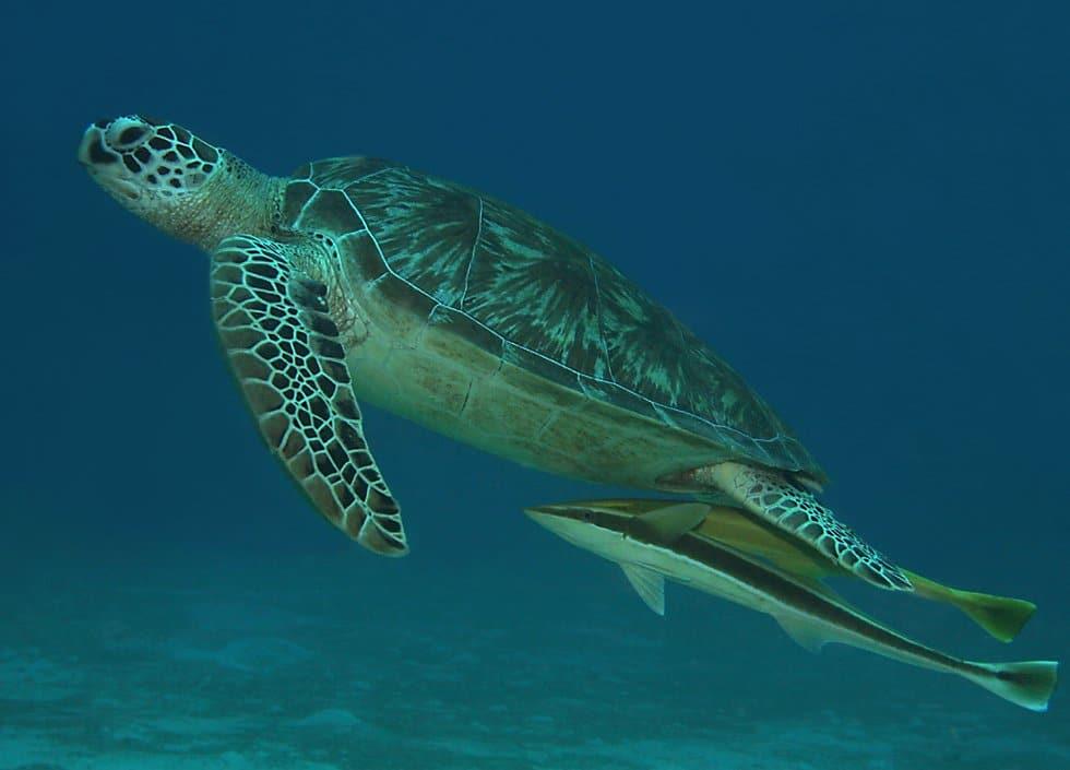 Țestoasă de mare