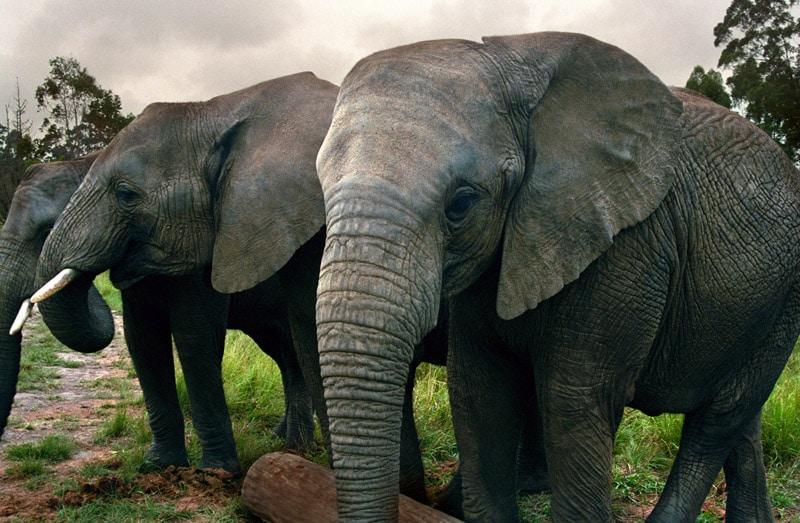 Elefanții africani pot fi admirați în Parcul de Elefanți