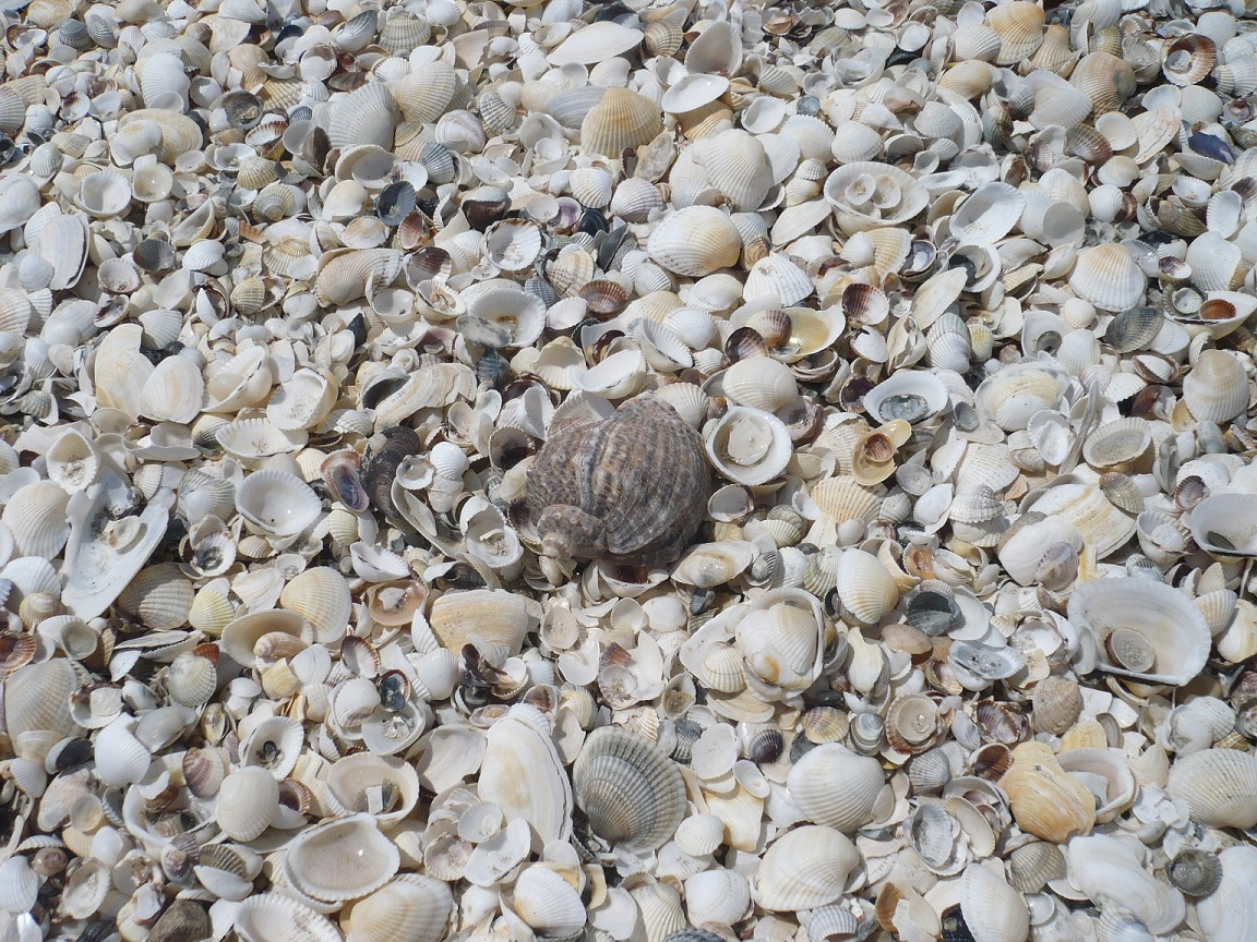 Pe plajă se regăsesc o mulţime de scoici
